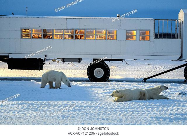 Polar Bear (Ursus maritimus) Individuals attracted to Frontiers North Cape Churchill lodge