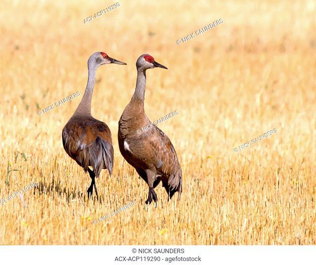 Two Sandhill Crane, Grus canadensis, in field, near Saskatoon Saskatchewan