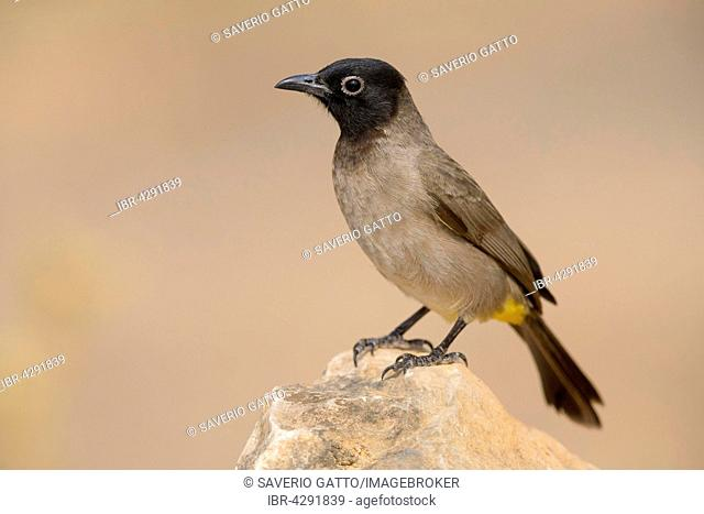 White-spectacled Bulbul (Pycnonotus xanthopygos), perched on a rock, Ayn Hamran, Dhofar, Oman