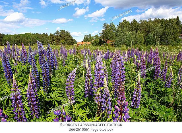 Lupin, Lupinus, Morko, Sweden