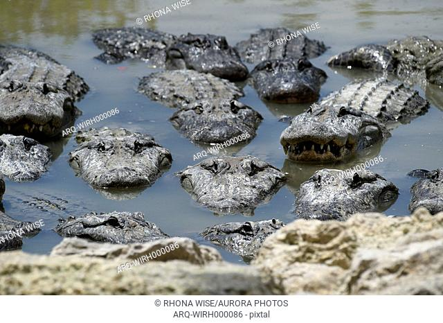 An America Alligators In Swamp At Everglades National Park, South Florida