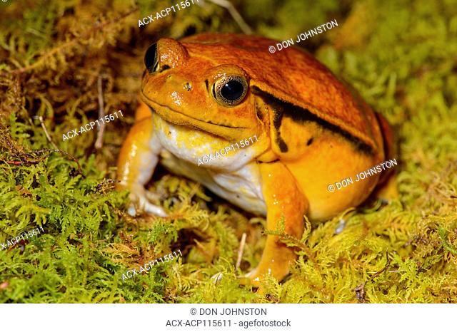 Tomato Frog (Dyscophus antongilii) Captive, Reptilia reptile zoo, Vaughan, Ontario, Canada