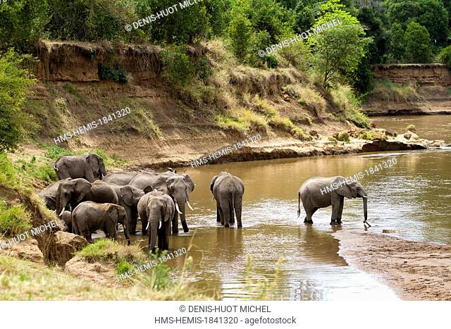 Kenya, Masai-Mara game reserve, Elephant (Loxodonta africana), herd drinking in the Mara river