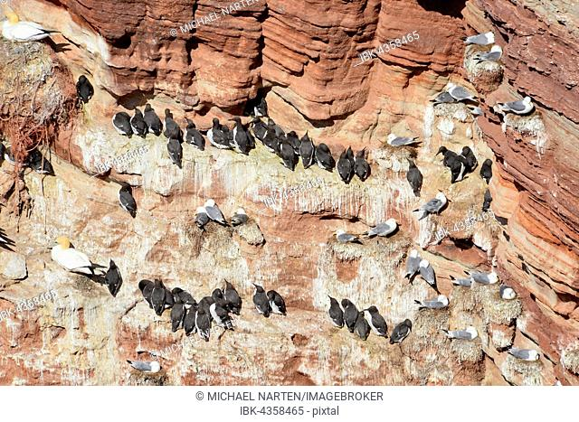 Common guillemots (Uria aalge) on bird rocks, Lummenfelsen, Heligoland, Schleswig-Holstein, Germany