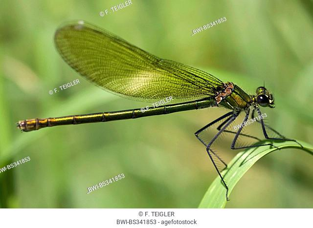 banded blackwings, banded agrion, banded demoiselle (Calopteryx splendens, Agrion splendens), female on a leaf, Germany