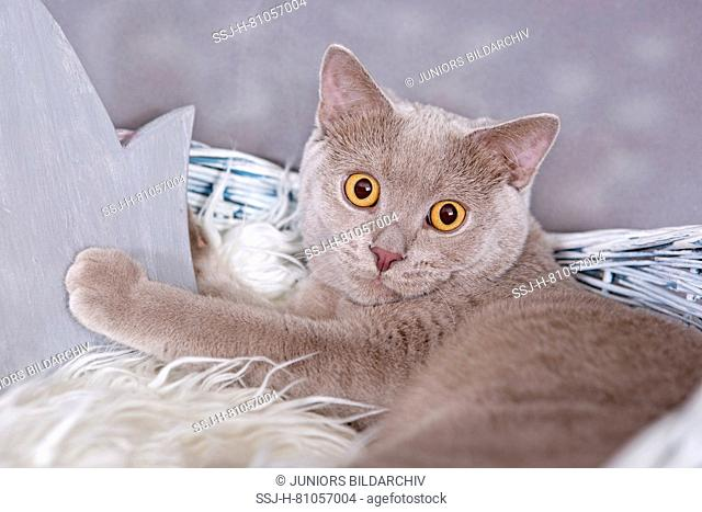 British Shorthair. Lilac tomcat (7 month old) lying in a basket, next to a wooden crown. Germany