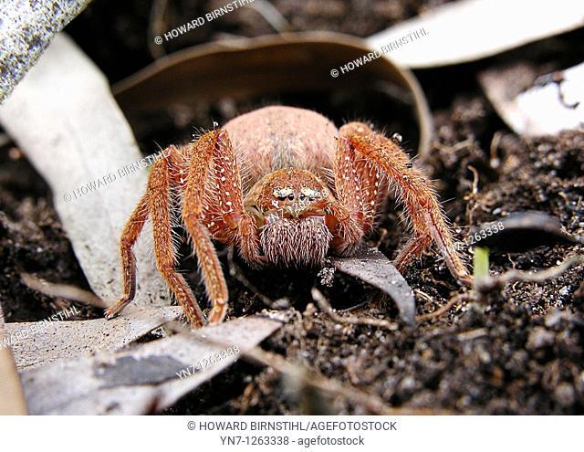 Orange huntsman spider face on