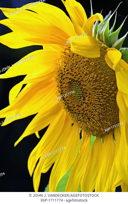 A close-up of a Sunflower