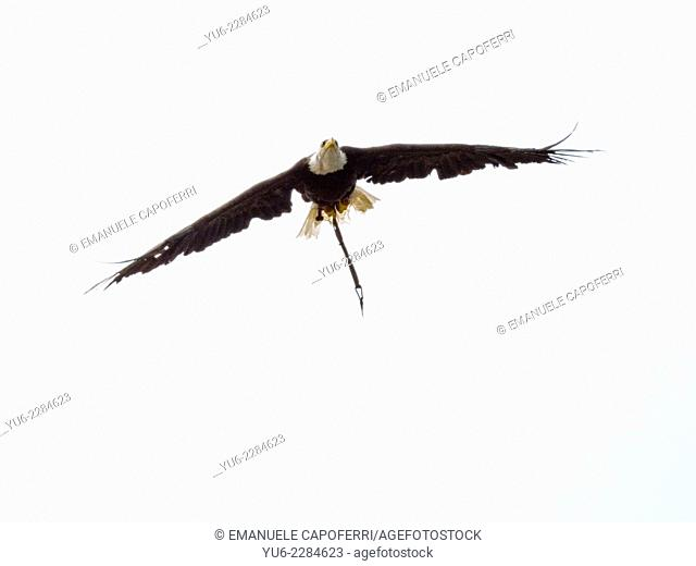 Eagle in flight during a show of birds of prey
