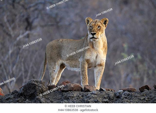 Female, Lion, Standing, Leo Panthera, Ulusaba Sir Richard Branson's Private Game Reserve, Sabi Sands Game Reserve, Mpumalanga, South Africa