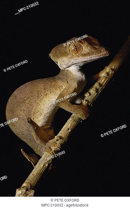 Leaf-tailed Gecko Uroplatus ebenaui, portrait, endemic species, Ankarana Special Reserve, Northern Madagascar