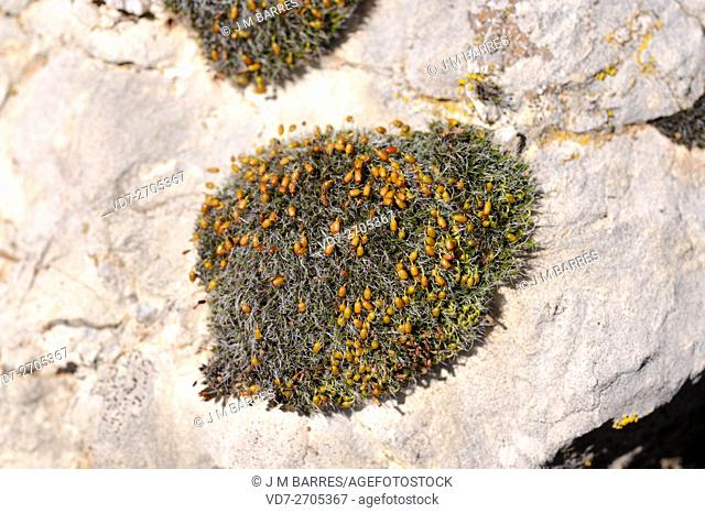 Grimmia orbicularis is a moss in hemispherical cushions of grey-green color. Grow up limestone rocks. Bryophyta. Bryopsida. Grimmiaceae
