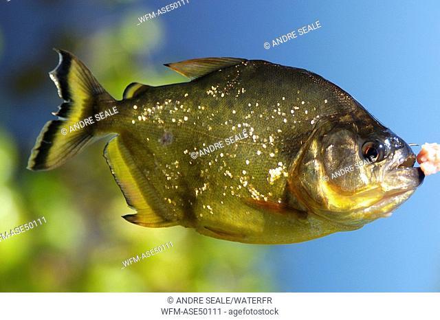 Piranha, caught on a line, Pygocentrus nattereri, Pantanal, Mato Grosso do Sul, Brazil