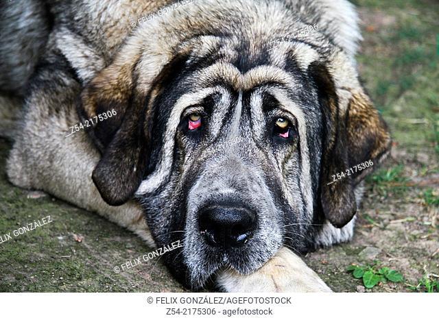 Dog Spanish Mastiff