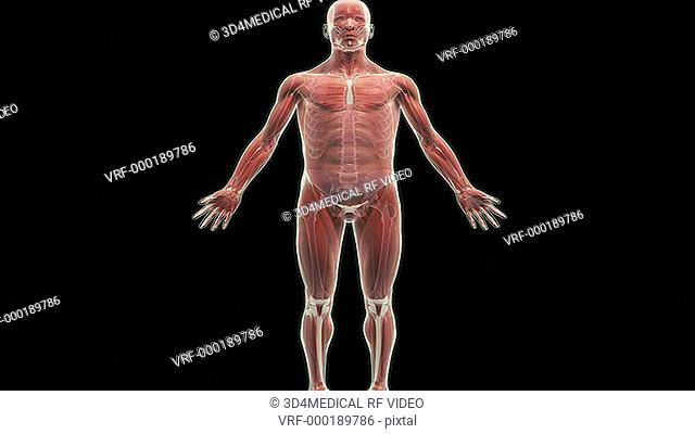 An animation of the thoracic cage. The camera zooms in and rotates to show the thoracic cage in isolation