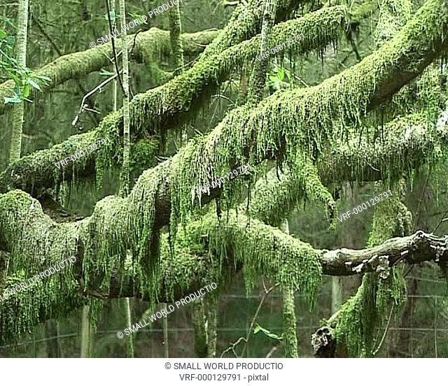 Moss covered tree branches, South Wales