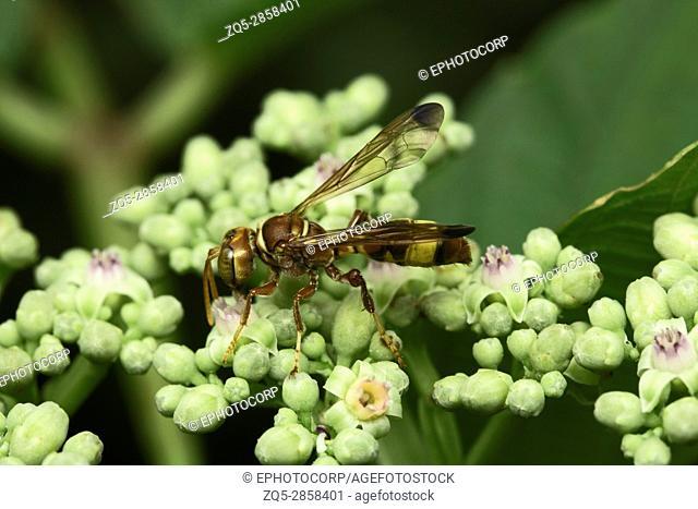 Wasp, Aarey Milk Colony , INDIA