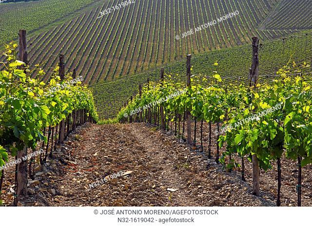 Vineyards, Radda in Chianti, Chianti, Tuscany landscape, Siena Province, Tuscany, Italy