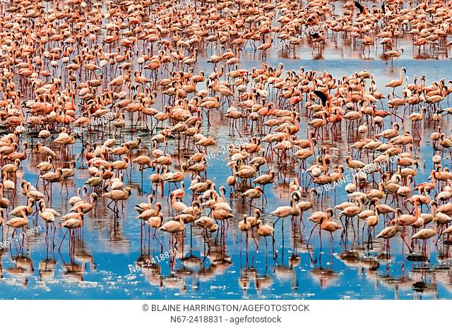 Tens of thousands of pink Lesser Flamingos, Kamfers Dam, near Kimberley, Northern Cape Province, South Africa seen from the luxury Rovos Rail train going from...