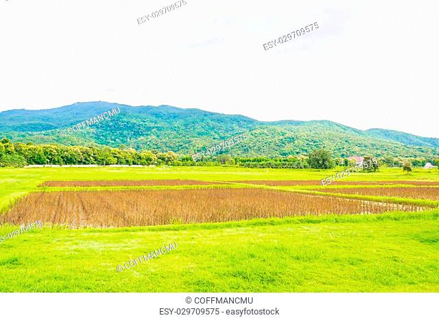 image of red rice field on day time with mountain in background