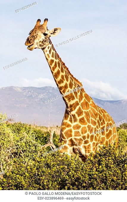 Kenya, Tsavo East National Park. Free giraffe in sunset light