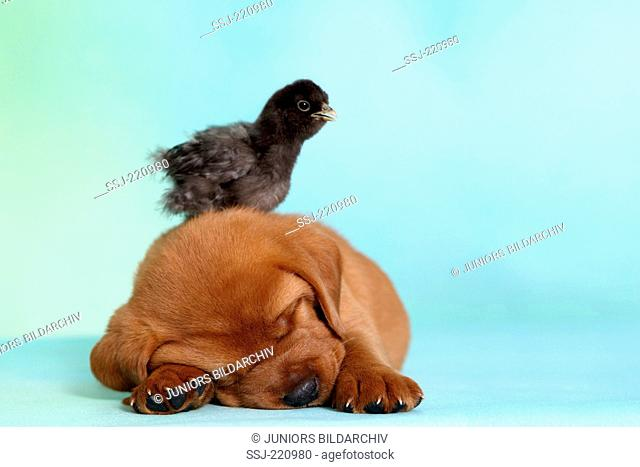 Labrador Retriever. Puppy (5 weeks old) with a chicken on its head, sleeping. Germany. Studio picture seen against a turquoise background
