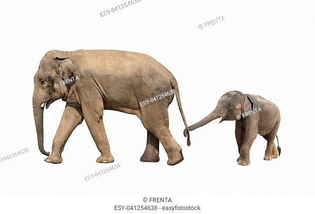 Walking family of elephant - mom and baby (Elephas maximus). Small elephant is held by the trunk by the tail of his mother