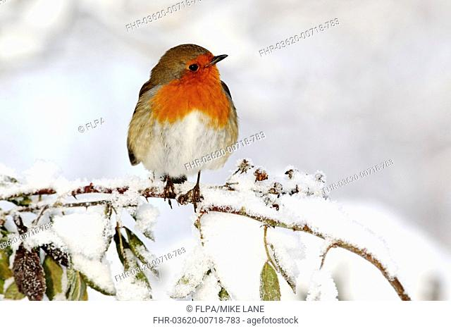 European Robin Erithacus rubecula adult, perched on snow covered stem, West Midlands, England, december