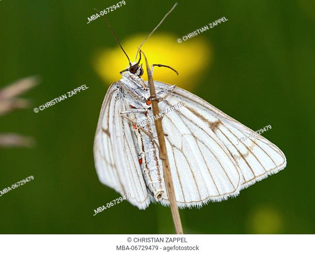 black-veined moth with parasites, red mites, Siona lineata, Murnau, Bavaria, Germany