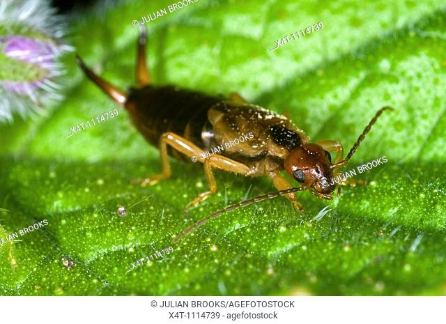 Extreme close up of an earwig Forficula auricularia with cerci raised in defensive posture