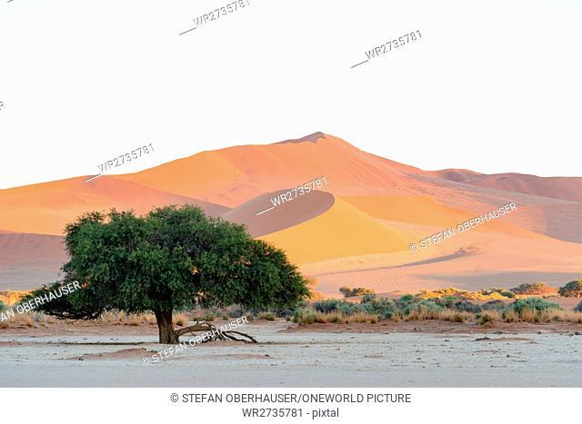 Namibia, Hardap, Sossusvlei, Green tree in front of a sandberg in the desert, at sunrise