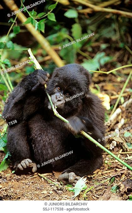 mountain gorilla - cub with stick / Gorilla gorilla beringei