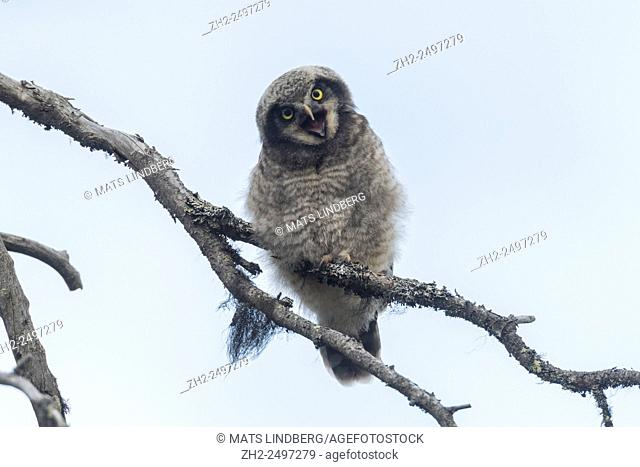Juvenile Norhtern Hawk-Owl, Surnia ulula, sitting in an old tree with his beak open and begging for food and looking in to the camera while he is leaning his...