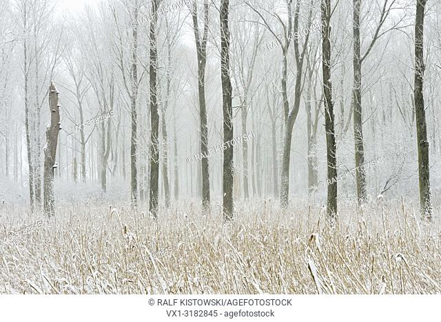 Snow covered swamp forest in the Lower Rhine Region, winter in Meerbusch, Ilvericher Altrheinschlinge, Germany