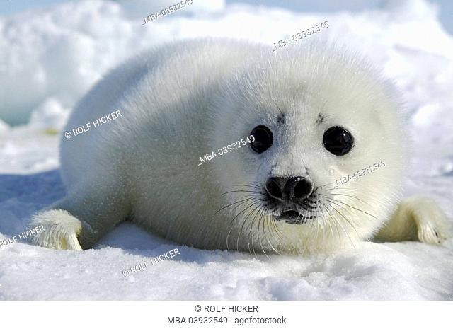 Canada, Prince Edward Island, pack-ice, seal-baby, series, animal-protection, seal-hunt, ice-surface, snow, outside, animal, mammal, seal, seal