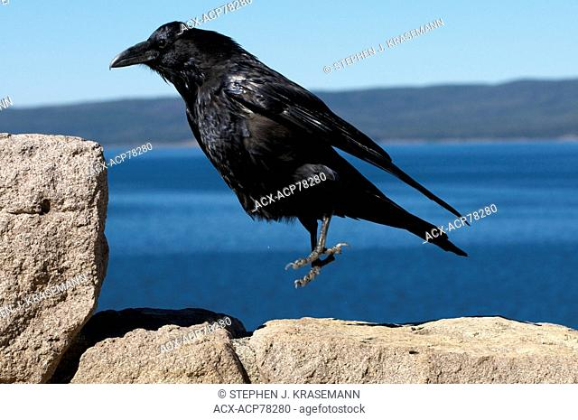 Common Raven (Corvus corax), jumping up onto a rock, Yellowstone Nat'l Park, WY, USA