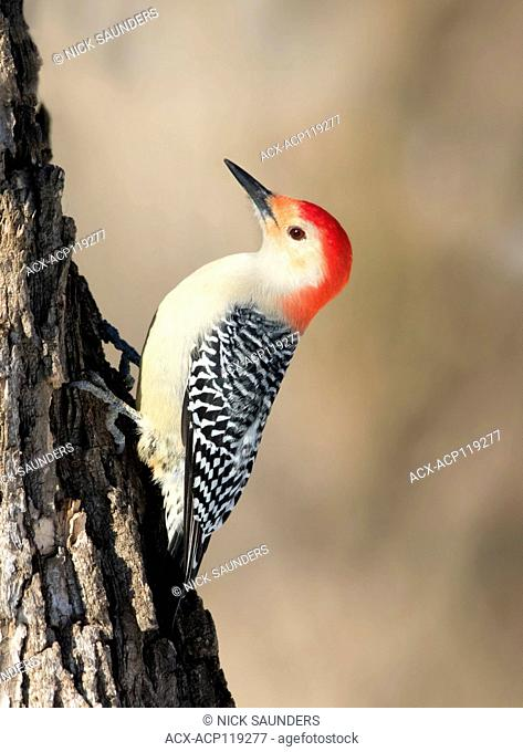 A male Red-bellied Woodpecker, Melanerpes carolinus , perched on a tree in Saskatoon , Saskatchwan in the winter
