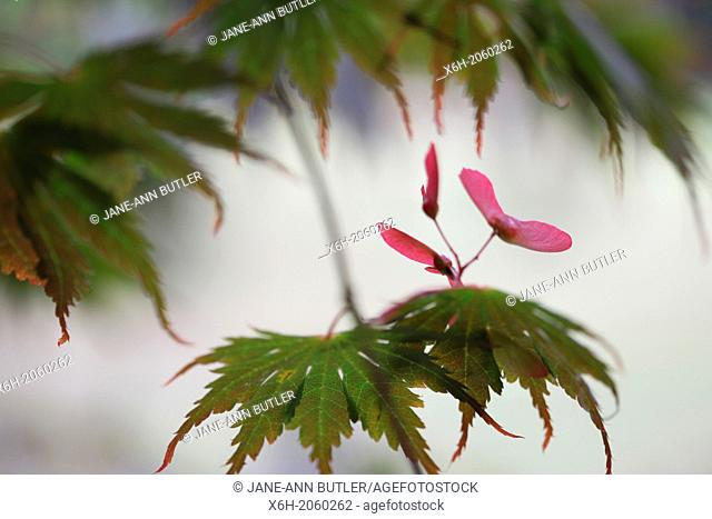 Acer Palmatum Seiryu Tree Summer to Autumn Season
