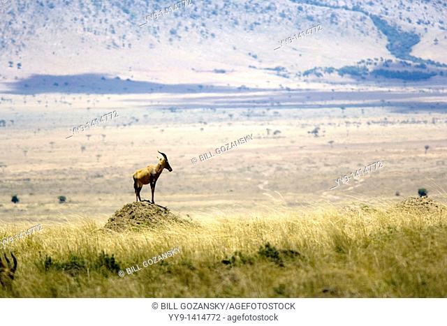 Topi on mound - Masai Mara National Reserve, Kenya