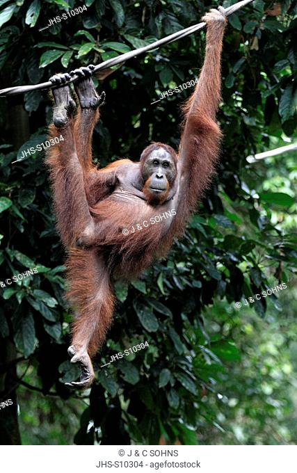 Orang Utan,Pongo pygmaeus,Sepilok Rehabilitation Centre,Sabah,Borneo,Malaysia,Asia,adult female
