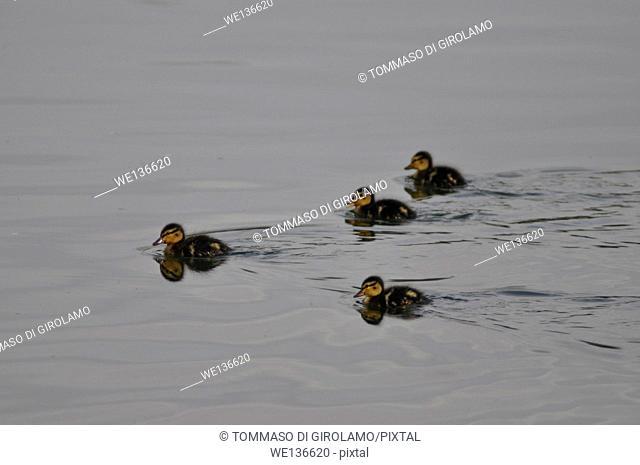 Animals, Coot, Chicks, Fulica Atra, Adda River, Trezzo d'Adda locality, Italy