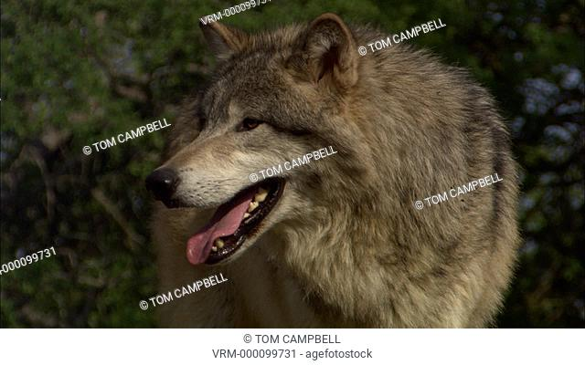 Gray wolf Canis lupus portrait. Northern California, USA