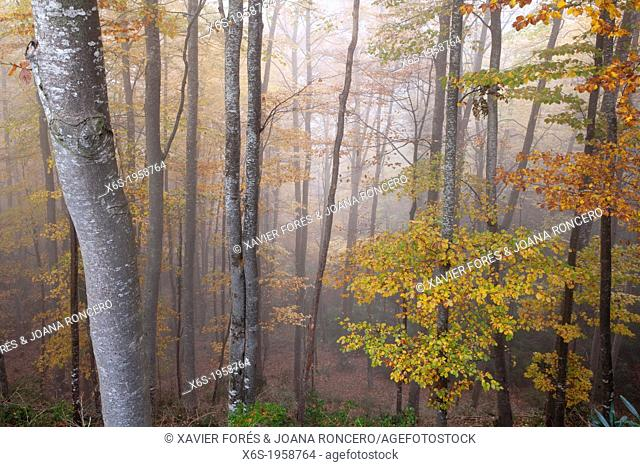 Beechwood of La Grevolosa - Fageda de la Grevolosa -, La Garrotxa, Girona, Spain