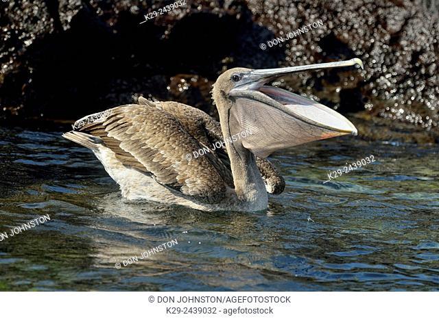 Brown Pelican (Pelecanus occidentalis) Hunting around shoreline rocks, Galapagos Islands National Park, San Cristobal, Lobos Island, Ecuador