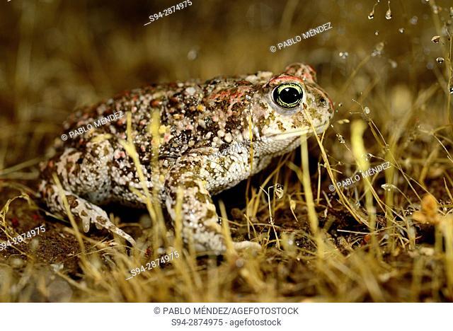Natterjack toad (Bufo calamita) in Valdemanco, Madrid, Spain