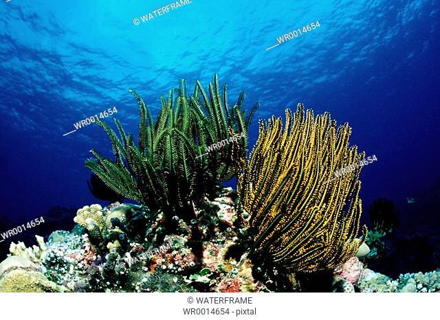 Colored Crinoids, Pacific, Micronesia, Palau