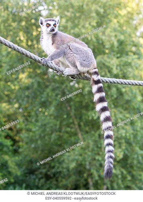 Ring-tailed lemur (Lemur catta) sitting on a rope