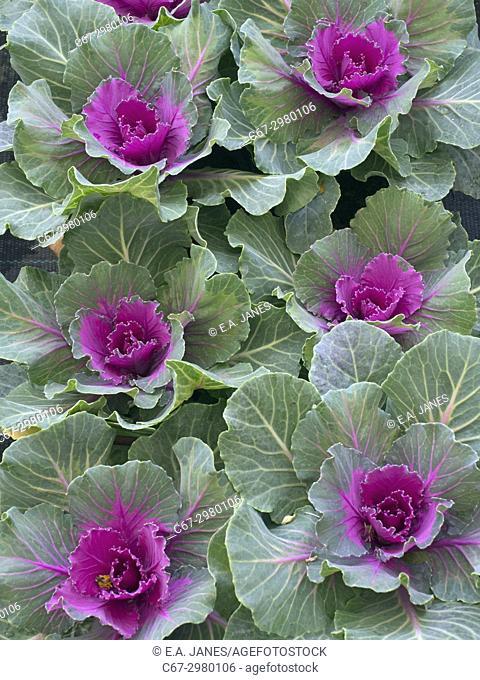 Nagoya Red Ornamental Kale in garden border