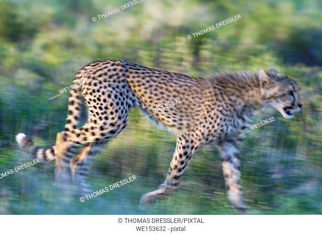 Cheetah (Acinonyx jubatus). Subadult female. Walking during the rainy season in green surroundings. Blurred effect by panning the camera