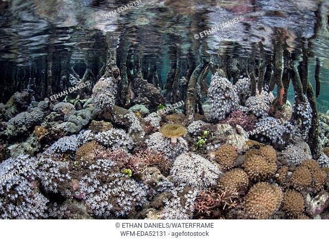 Corals growing in Mangroves, Rhizophora, Raja Ampat, West Papua, Indonesia